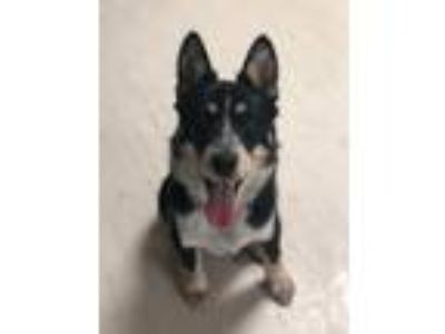 Adopt Tucker a Australian Cattle Dog / Blue Heeler, Border Collie