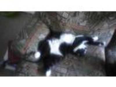 Adopt Arrow a Black & White or Tuxedo American Bobtail cat in Mogadore