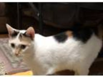 Adopt Jenny a Calico or Dilute Calico Domestic Shorthair cat in Jamestown