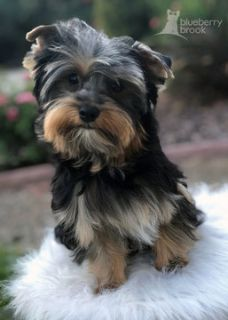 Yorkshire Terrier PUPPY FOR SALE ADN-92049 - Yorkie Puppies AKC