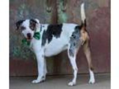 Adopt Reeses a Catahoula Leopard Dog