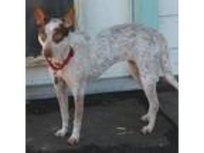 Adopt Lily a White - with Red, Golden, Orange or Chestnut Australian Cattle Dog
