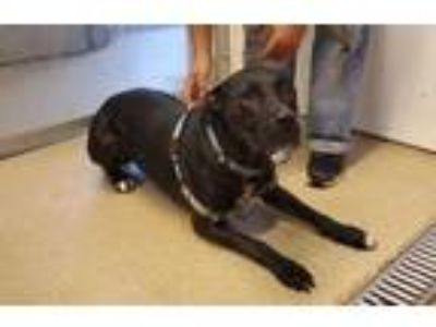 Adopt LEXI MO a Black Mixed Breed (Large) / Mixed dog in St.