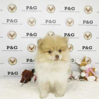 Pomeranian PUPPY FOR SALE ADN-70628 - Pomeranian  Charles  Male