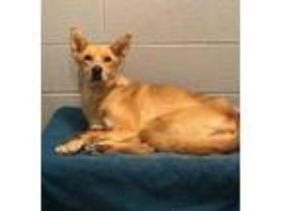 Adopt Elena a Tan/Yellow/Fawn Shepherd (Unknown Type) / Mixed dog in Lancaster