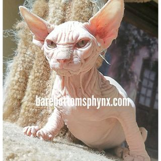 Sphynx kitten's for sale California