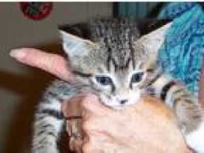 Adopt *Clyde a Tan or Fawn Tabby American Shorthair cat in Lakeland