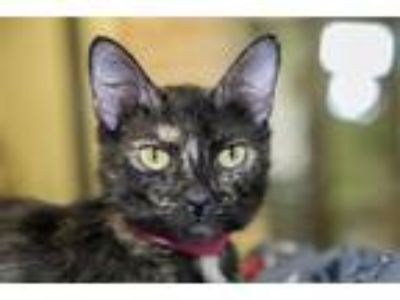 Adopt Diana a Domestic Shorthair / Mixed cat in San Diego, CA (25616229)