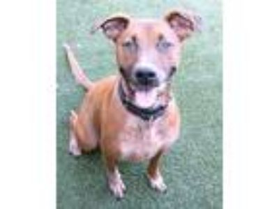 Adopt Hot Cocoa a Brown/Chocolate Hound (Unknown Type) / Mixed dog in