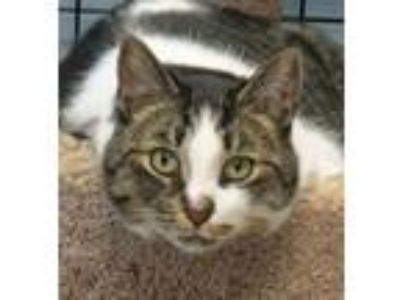 Adopt Kingston a Domestic Short Hair, Tabby