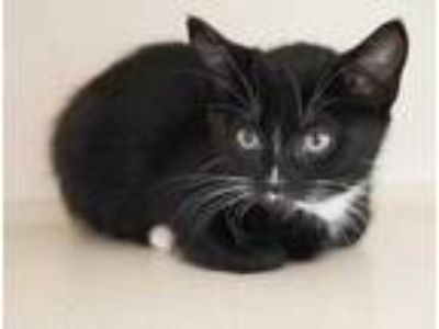 Adopt Heavensbee a All Black Domestic Shorthair / Domestic Shorthair / Mixed cat