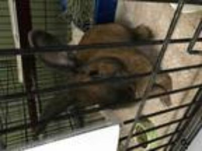 Adopt Samwise a American / Mixed rabbit in Oakland, CA (25613895)