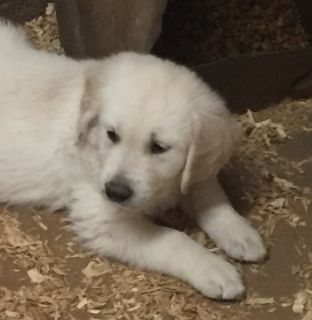 Golden Retriever PUPPY FOR SALE ADN-96770 - English Cream Golden Retrievers
