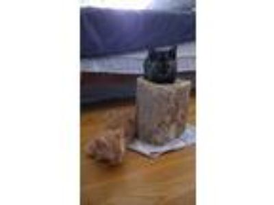 Adopt Rosie and Kittens a Domestic Short Hair
