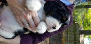 English Springer Spaniel PUPPY FOR SALE ADN-78358 - Beautiful Unplanned Litter