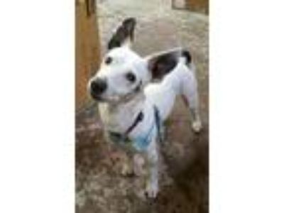 Adopt Harley Davidson a Jack Russell Terrier / Mixed dog in Battle Ground
