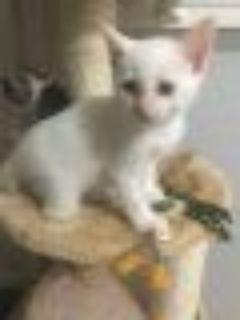 Angelo Siamese Cat