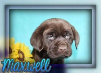 Maxwell Male AKC Chocolate Labrador