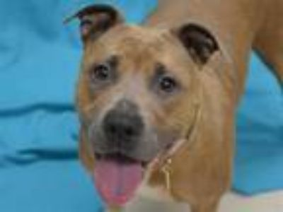 Adopt Lilith a Pit Bull Terrier, Mixed Breed