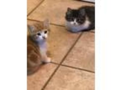 Adopt 4 kittens a Orange or Red (Mostly) Domestic Shorthair (short coat) cat in