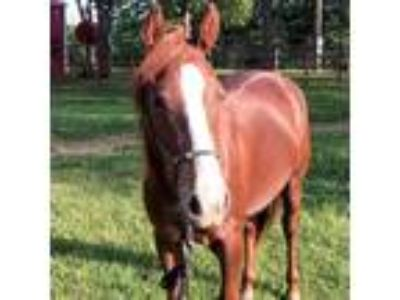 Adopt Willows Dream a Paint/Pinto / Mixed horse in Des Moines, IA (23920083)