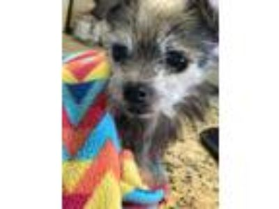 Adopt Gertrude a Yorkshire Terrier, Wirehaired Terrier