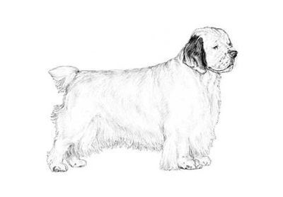 Cajun Clumber Spaniel Puppies