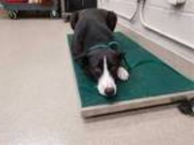 Adopt AUGGIE a Black - with White Border Collie / Mixed dog in Grand Prairie