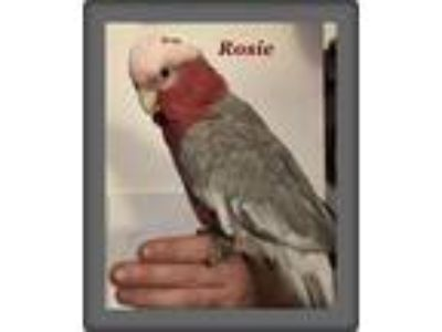 Adopt Rosie a Gray Cockatoo bird in Tampa, FL (20474444)