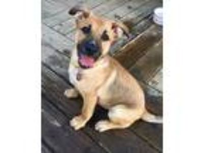 Adopt Opal a Tan/Yellow/Fawn Shepherd (Unknown Type) / Mixed dog in Fort