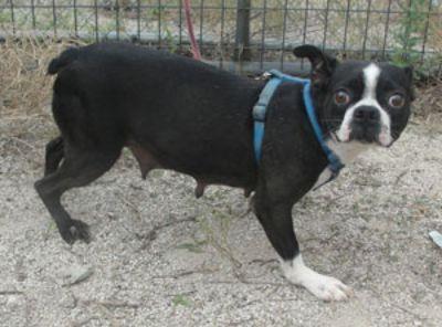 Boston Terrier DOG FOR ADOPTION ADN-81282 - Adult Boston Terrier Female