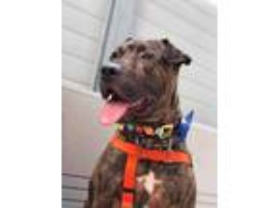 Adopt Denny a Brown/Chocolate American Pit Bull Terrier / Shar Pei / Mixed dog