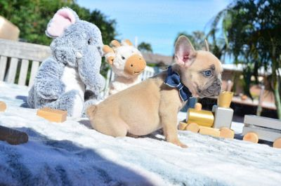 French Bulldog PUPPY FOR SALE ADN-108182 - Small Blue Fawn Male Peanut