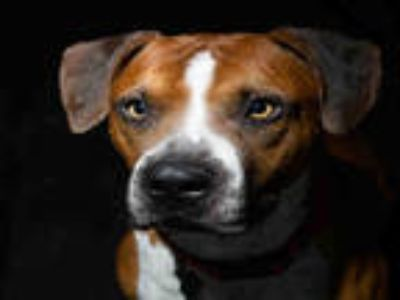 Adopt IKE a Brown/Chocolate - with White American Pit Bull Terrier / Mixed dog