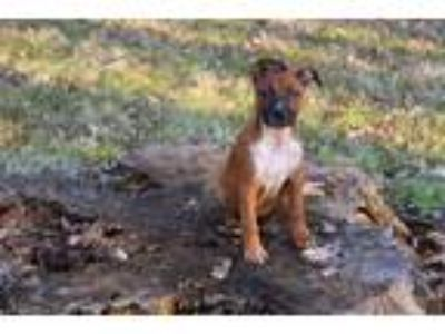 Adopt Daisy a Tan/Yellow/Fawn - with Black Boxer / Rottweiler / Mixed dog in