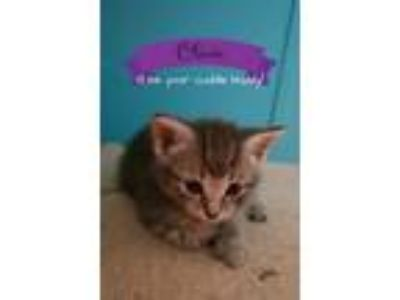 Adopt Olivia a Tan or Fawn Tabby Domestic Shorthair (short coat) cat in