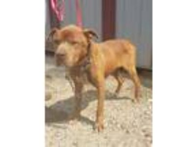 Adopt Temple a Red/Golden/Orange/Chestnut American Pit Bull Terrier / Mixed dog