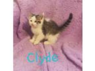 Adopt Clyde a Brown Tabby Domestic Shorthair / Mixed (short coat) cat in