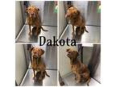 Adopt DAKOTA a Brown/Chocolate - with White American Pit Bull Terrier / Mixed