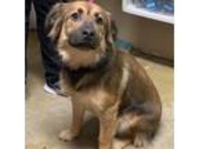 Adopt Jacee a Brown/Chocolate Collie / Retriever (Unknown Type) / Mixed dog in