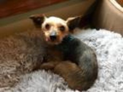 Adopt Pudding a Yorkshire Terrier