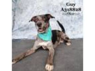 Adopt GUY a Black - with Gray or Silver Catahoula Leopard Dog / Mixed dog in