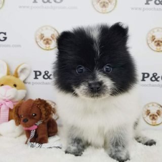 POMERANIAN - JASON - MALE