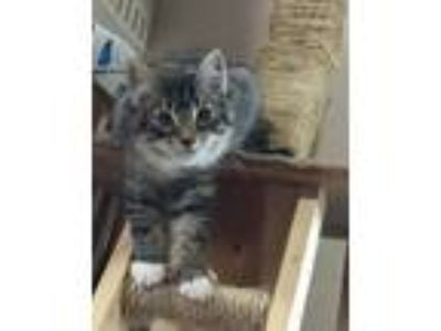 Kittens - For Sale Classified Ads in Tualatin, Oregon - Claz org