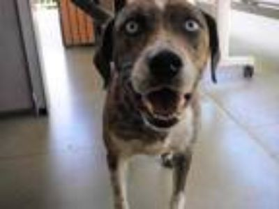 Adopt Ice a Brown/Chocolate Catahoula Leopard Dog / Husky / Mixed dog in