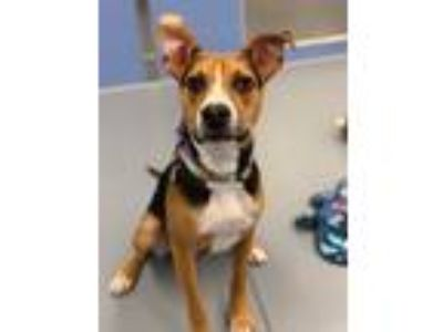 Adopt Casey a Tricolor (Tan/Brown & Black & White) Beagle / Hound (Unknown Type)