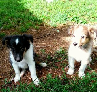 Sheltie Collie Puppies