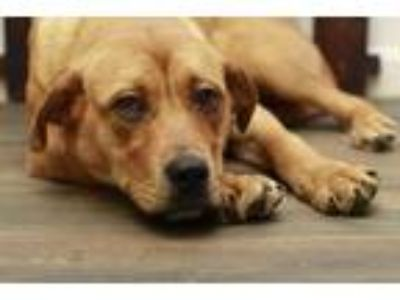 Adopt Mrs Rabbit a Labrador Retriever
