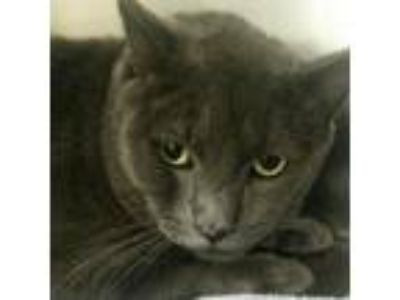 Adopt Serens a Gray or Blue Domestic Shorthair / Domestic Shorthair / Mixed cat