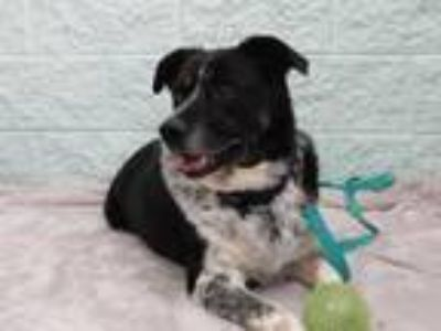 Adopt Coffee a Australian Shepherd, Australian Cattle Dog / Blue Heeler